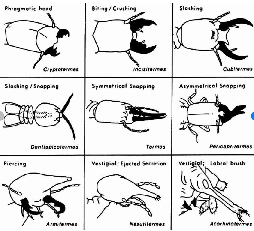 Variación mandibular en termitas